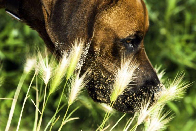 perro y espiga
